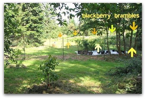 field of blackberries