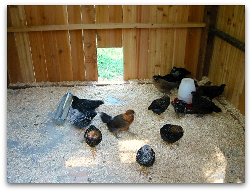 Duck duck goose chicken and the egg tall clover farm for Can ducks and chickens share a coop