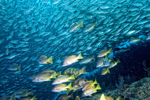 Inside a sardine school of fish close up in the deep blue
