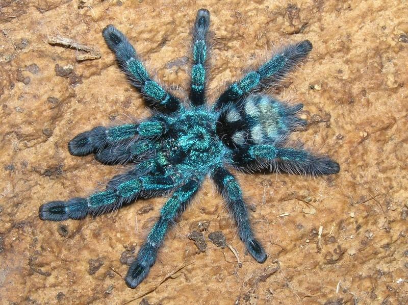 http://i2.wp.com/www.tarantulapets.com/wp-content/uploads/2014/12/Antilles-Treespider.jpg