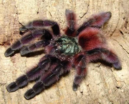 Pink Toe Tarantula Web as The Pink Toe Tarantula