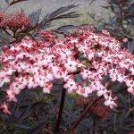 plants4less sambucus nigra