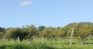 Pictures from the car: Orange groves