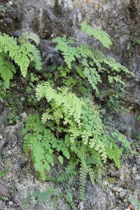 Ferns on the rockface on the opposite side of the road. I really had to watch for cars.