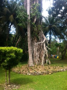 One of the many Banyon trees that dot the island.