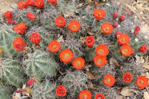 Blooming cactus. I think this is a Barrel Cactus.