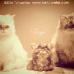 Tango Persian Tarturumies