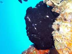 Anglerfisch, Vilamendhoo, Ari Atoll, Tauchen auf den Malediven