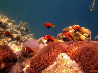 Anemonenfisch, Vilamendhoo, Ari Atoll, Tauchen auf den Malediven