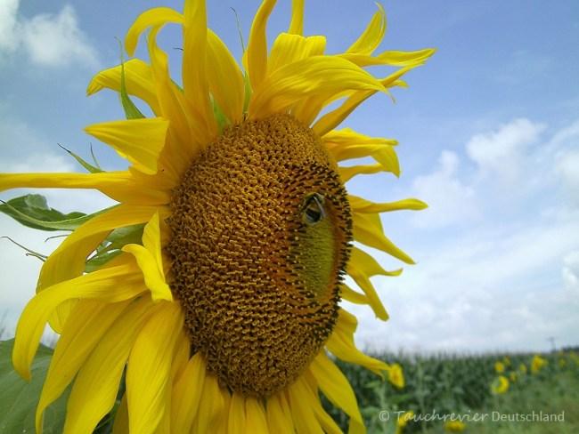 Sonnenblume, Tauchen im Lausitzer Seenland