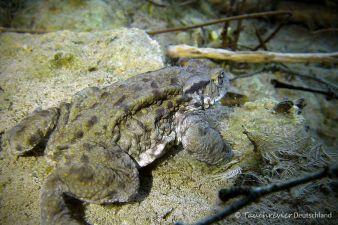 Erdkröte, Tauchen in Löbejün