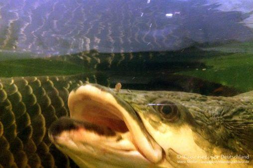 Arapaima, Leibnitz-Institut für Gewässerokologie und Binnenfischerei