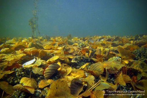 Herbstlaub, Tauchen im Zansen, Tauchen in Mecklenburg-Vorpommern