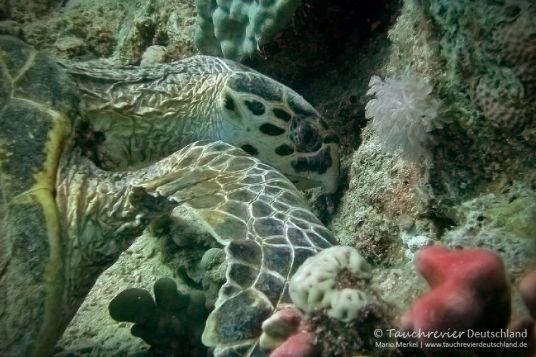 Schildkröte, sea turtle, Tauchen in Safaga, Tauchen in Ägypten, Tauchen im Roten Meer