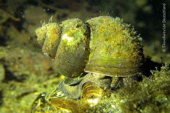 Sumpfdeckelschnecke (Viviparidae)