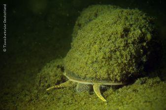 Weibchen, Sumpfdeckelschnecke (Viviparidae), Tauchen in Deutschland