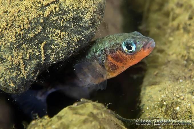 Männchen, Dreistachlige Stichling (Gasterosteus aculeatus), Tauchen im Zwenkauer See