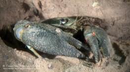 Edelkrebs. Europäischer Flusskrebs, Tauchen im Möwensee, Tauchen in Thüringen
