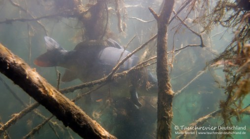 Spiegelkarpfen, Tauchen im Edderitzer See, Tauchen in Sachsen-Anhalt