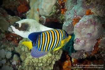 Pfauen-Kaiserfisch, ORCA Dive Club Safaga, Tauchen in Safaga, Tauchen in Ägypten