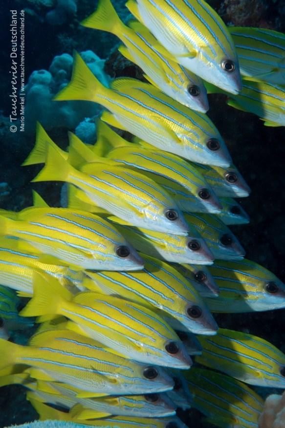 Streifenbarbe, ORCA Dive Club Safaga, Tauchen in Safaga, Tauchen in Ägypten