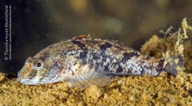 Marmorierte Süßwassergrundel (Proterorhinus semilunaris), Marmorgrundel, Nasengrundel, Neozoen, Fischfauna