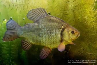 Karausche, Karpfenartige Fische, Fisch, Tauchen in Deutschland