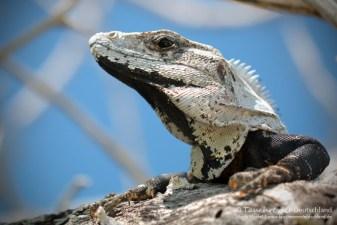 Leguan, Flora und Fauna in Mexico, Tauchen Cenoten