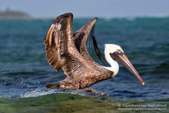 Pelikan, Flora und Fauna in Mexico, Tauchen Cenoten