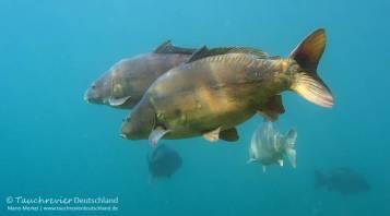 Spiegelkarpfen, Karpfen, Cyprinus carpio, Karpfenfische, Tauchen in Deutschland
