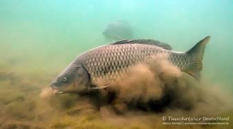 Schuppenkarpfen, cyprinus carpio, Karpfenfische, Tauchen in Deutschland
