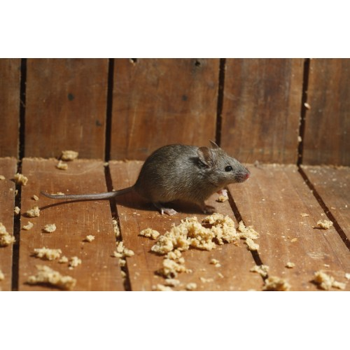 Medium Crop Of Mice In Walls