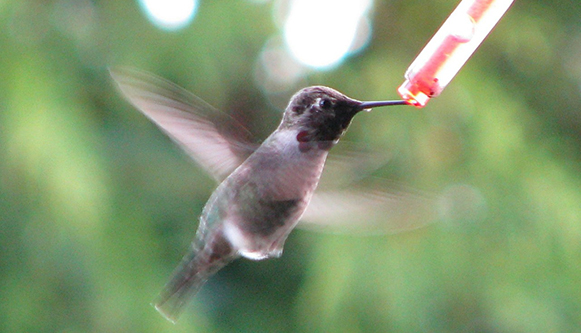 hummingbirds-172979_1280