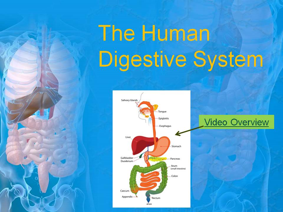 Digestive 1