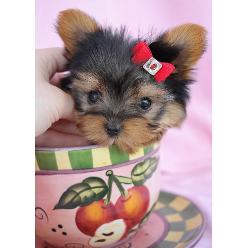 Medium Crop Of Teacup Yorkie Poo