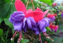 """Google is working on a new IoT based Operating System called """"Fuchsia"""""""