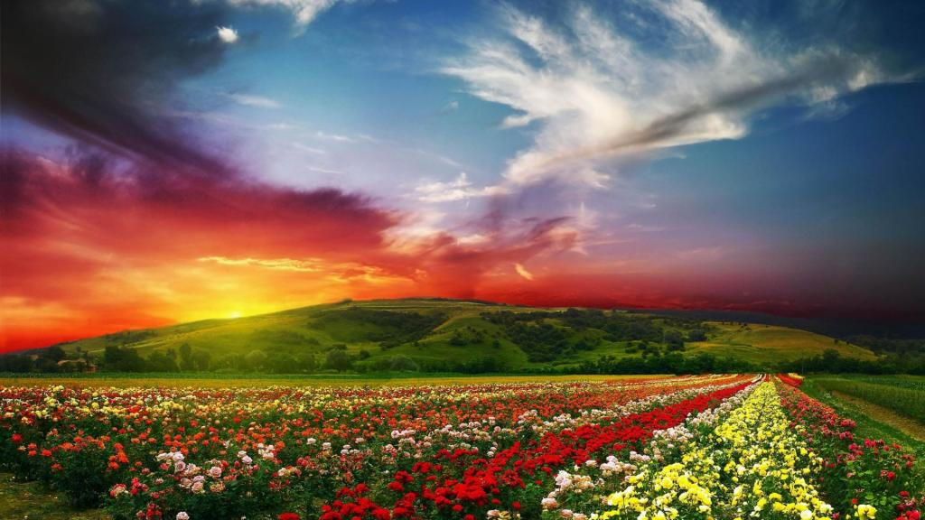 Beautiful flower images red yellow and white
