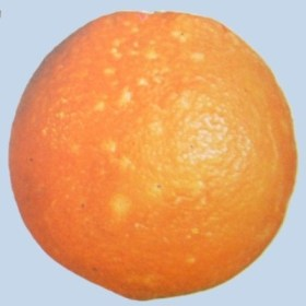 Cochinilla en naranja navel - Limite primera