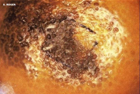 Oleocelosis en cítricos