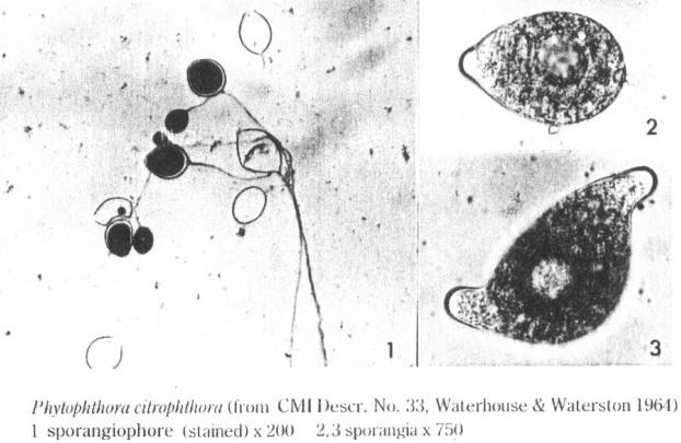 Phytophthora citrophthora