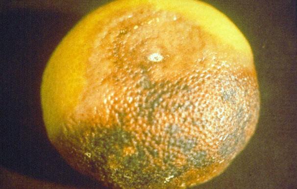 Diplodia en citricos