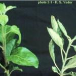 Oidio - Phodosphera leucotricha