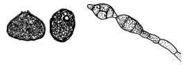Phoma Glomerata