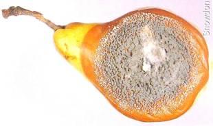 Penicillium - Conidióforos de Penicillium expansum.