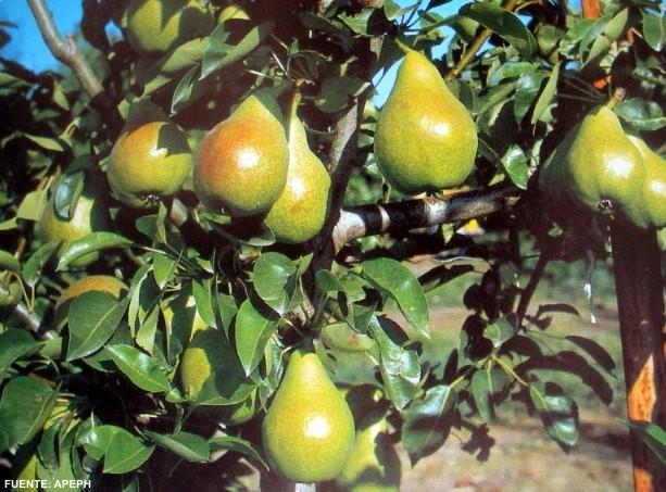 Limonera