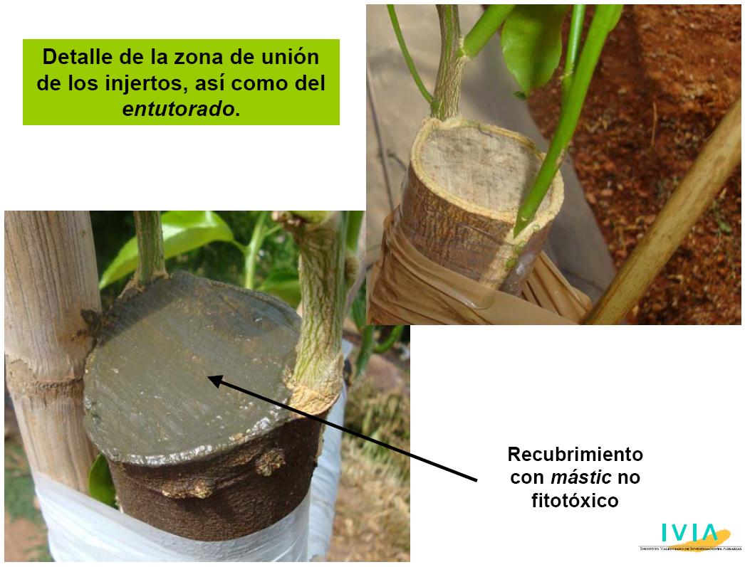 El injerto de citricos en campo for Viveros frutales pdf