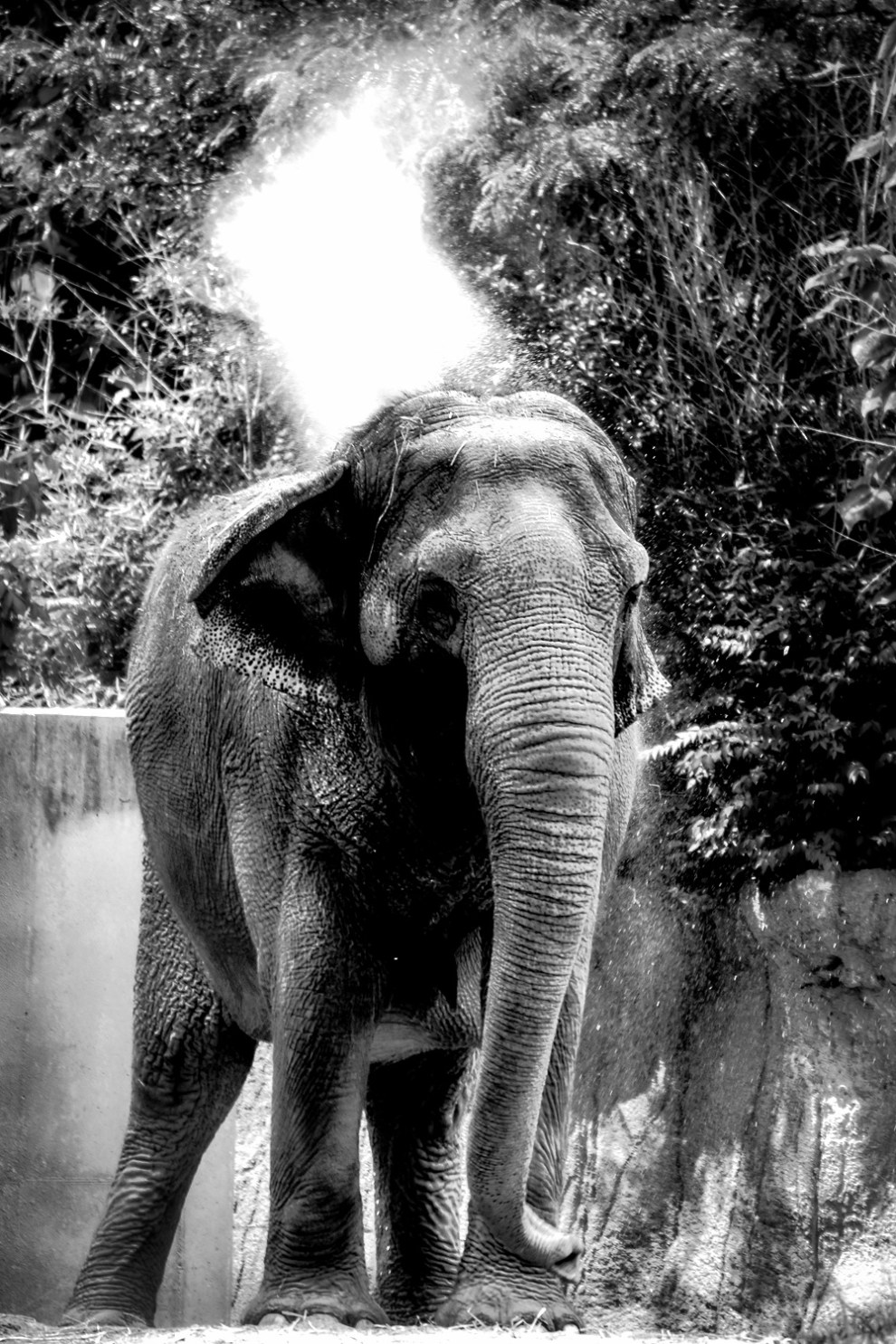 Elephant at St. Louis Zoo