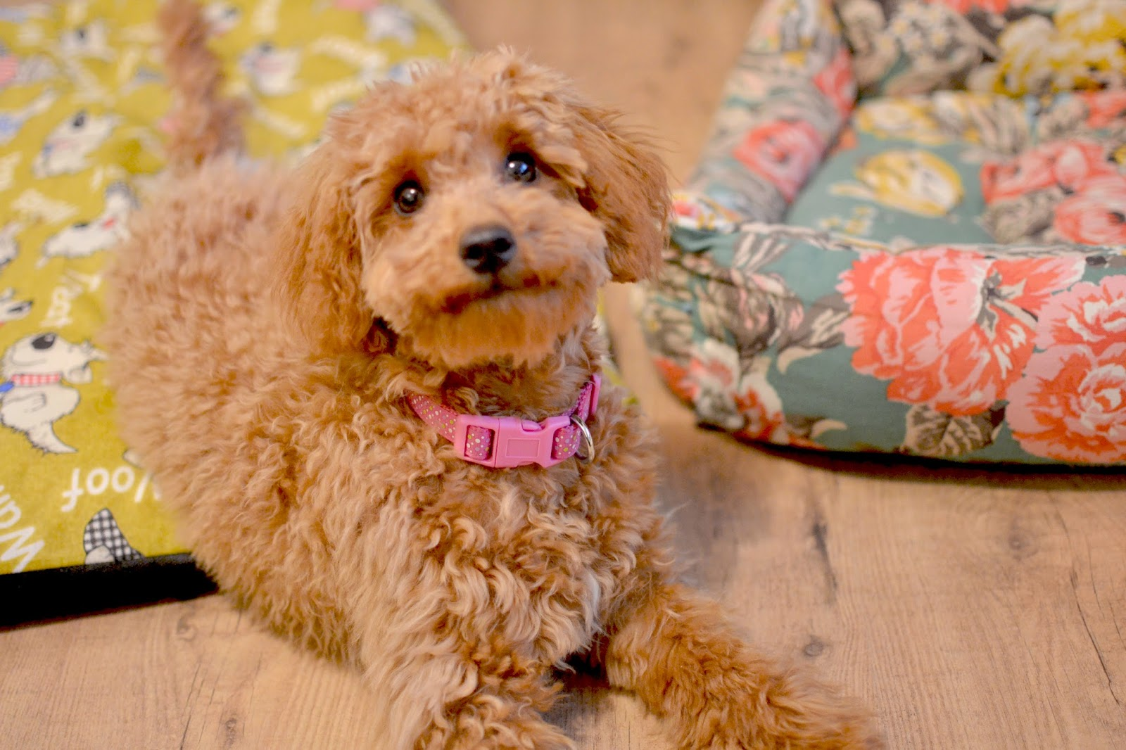 Relieving Pin Miniature Haircut Blog Toy Poodle Puppy Cut S Standard Poodle Puppy Cut Grooming bark post Poodle Puppy Cut