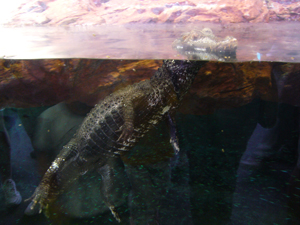Questo caimano è rimasto esattamente in questa posizione per tutto il tempo che l'ho osservato e anche oltre