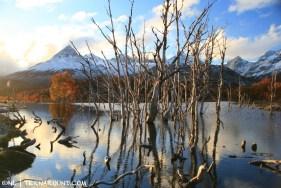 Dead trees in beaver lake